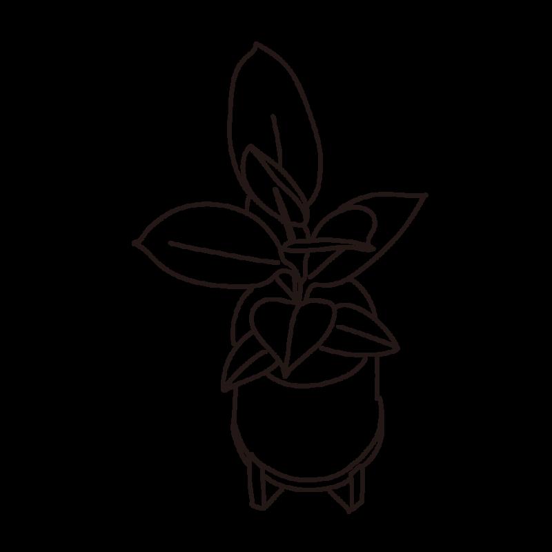 フィカス アルテシマの幼木ライン