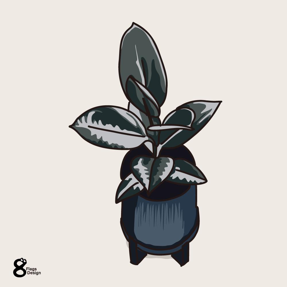 フィカス アルテシマの幼木のキャッチ画像
