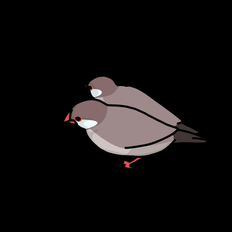 くっ付いている文鳥シナモン