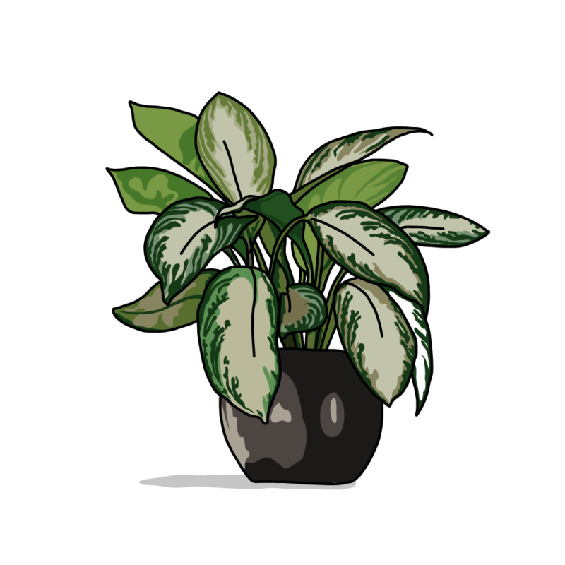 ディフェンバキアの鉢ノーマル