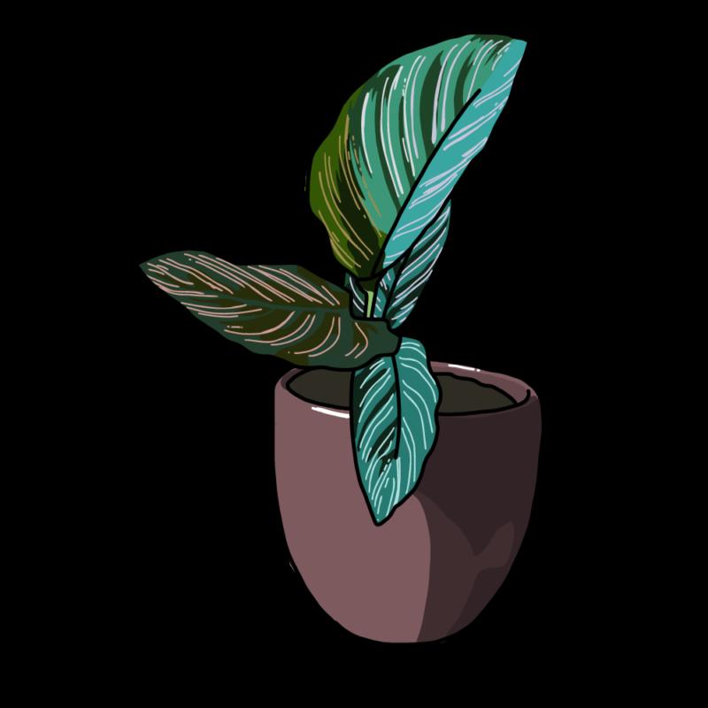 カラテアの鉢ブラウン