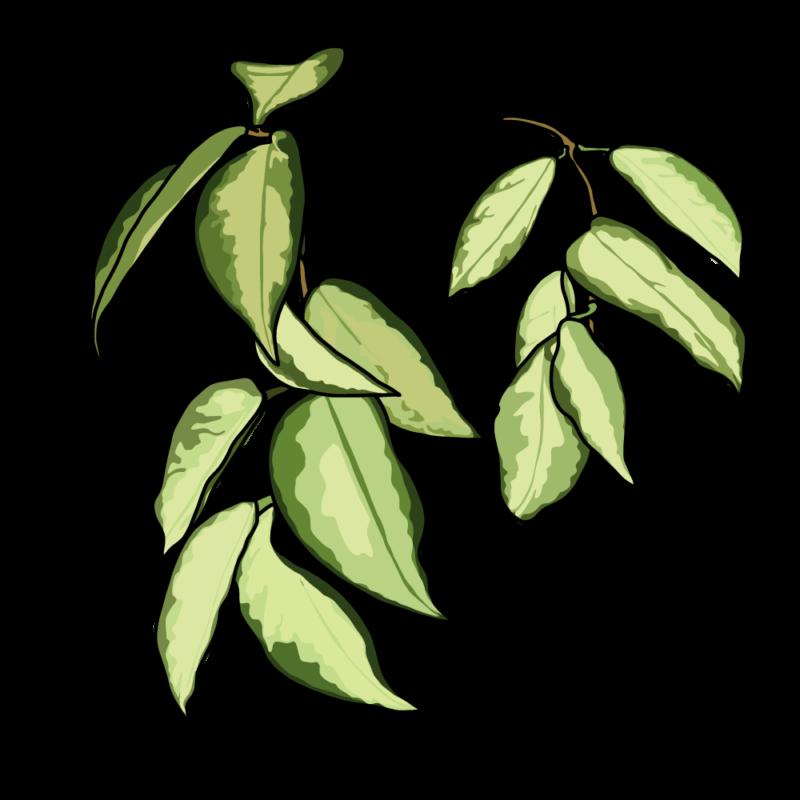 ポトスの葉っぱイエロー