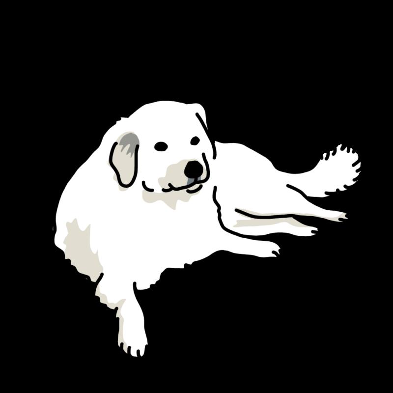 貫禄の大型犬(ラブラドール)白