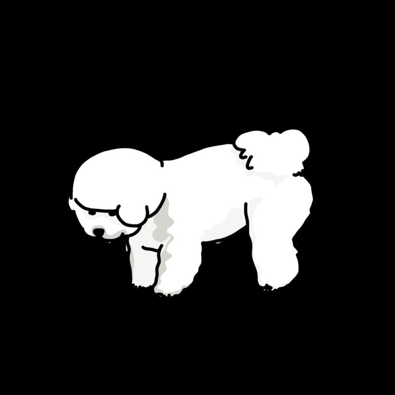 何か見つけた犬(ビションフリーゼ)白