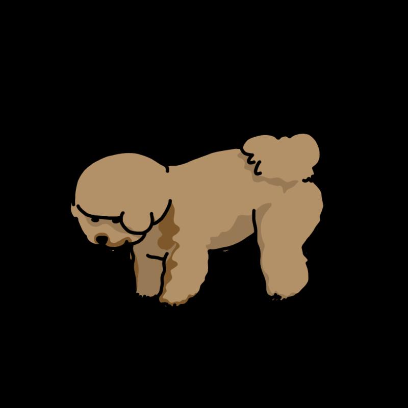 何か見つけた犬(ビションフリーゼ)ブラウン