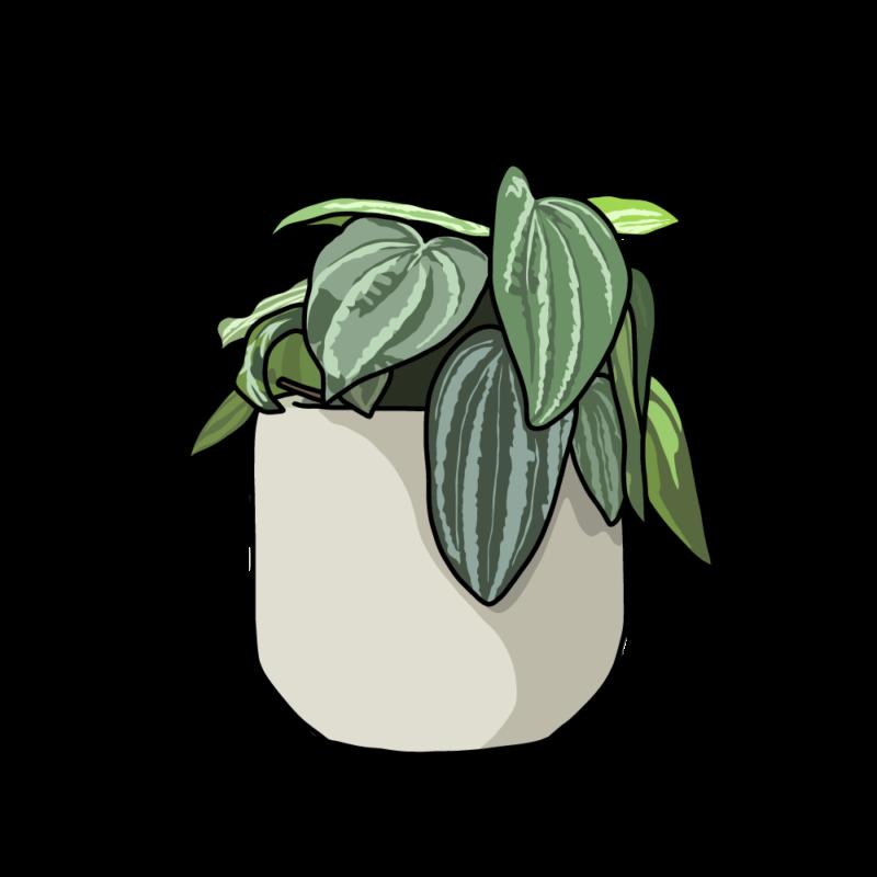 ペペロミアの鉢ホワイト