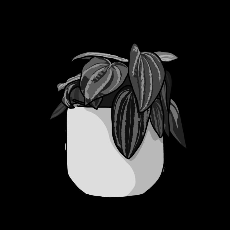 ペペロミアの鉢モノクロ