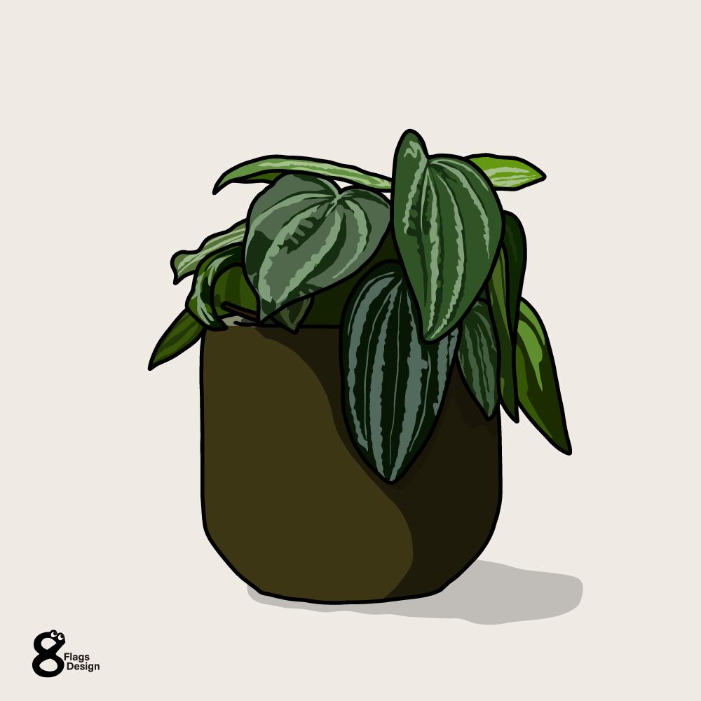 ペペロミアの鉢のキャッチ画像