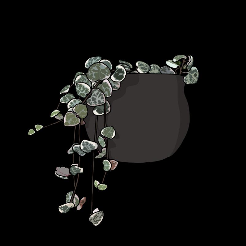 ハートカズラ(観葉植物)ブラウン