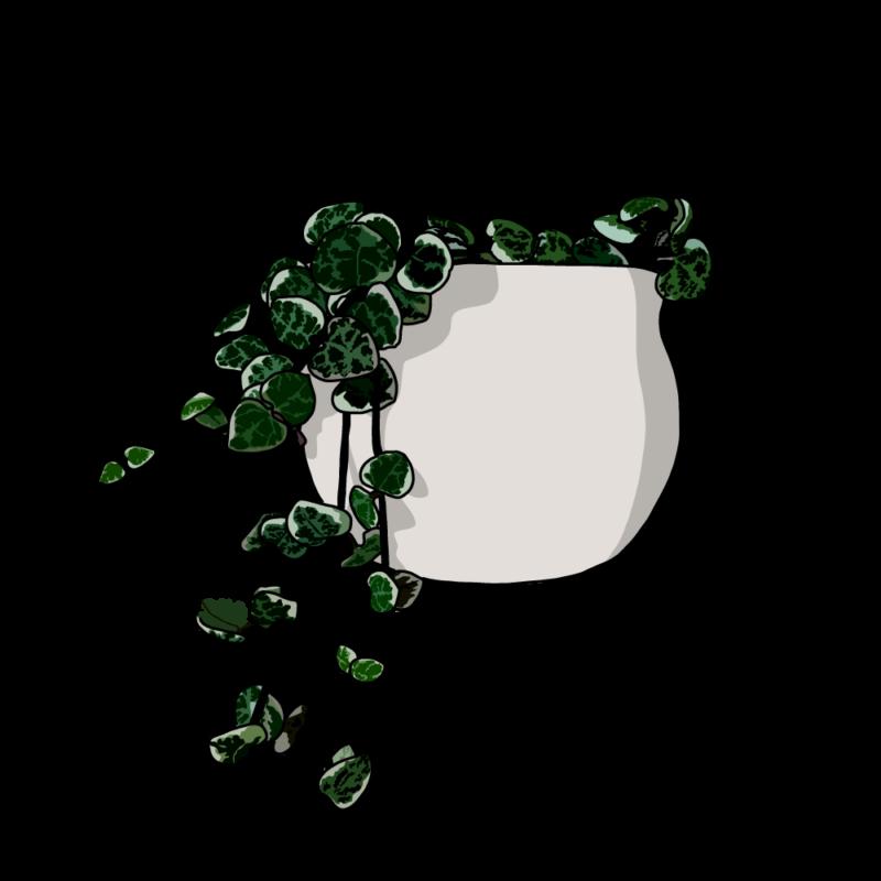 ハートカズラ(観葉植物)白
