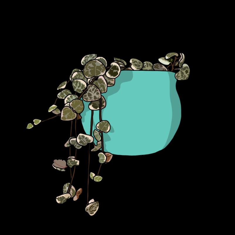 ハートカズラ(観葉植物)ターコイズ