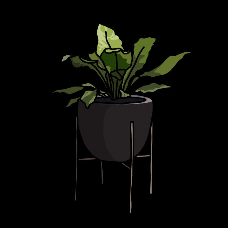 アスプレニウム(観葉植物)ブラック