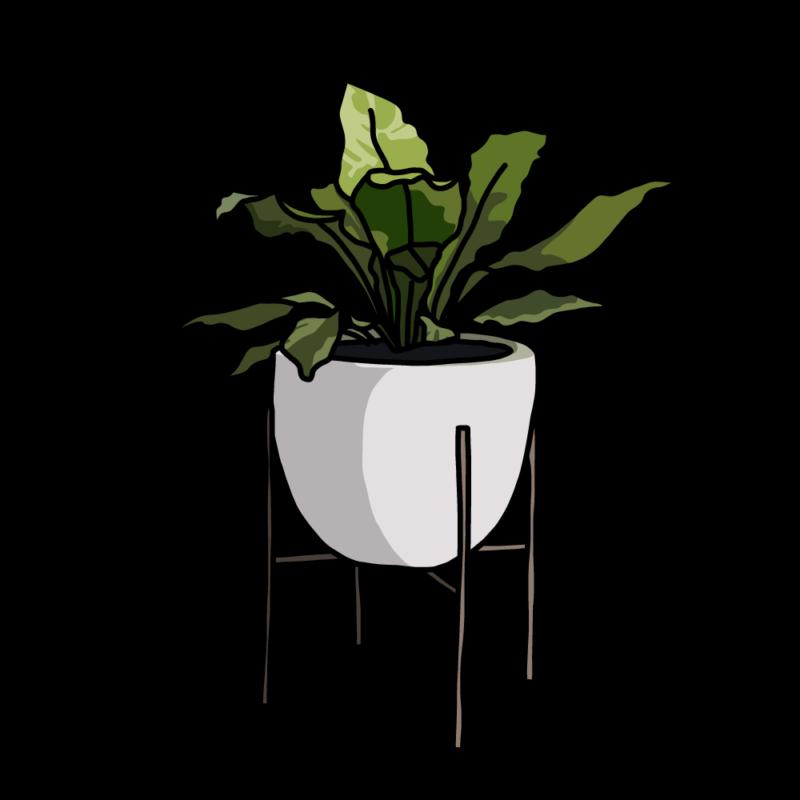 アスプレニウム(観葉植物)ホワイト