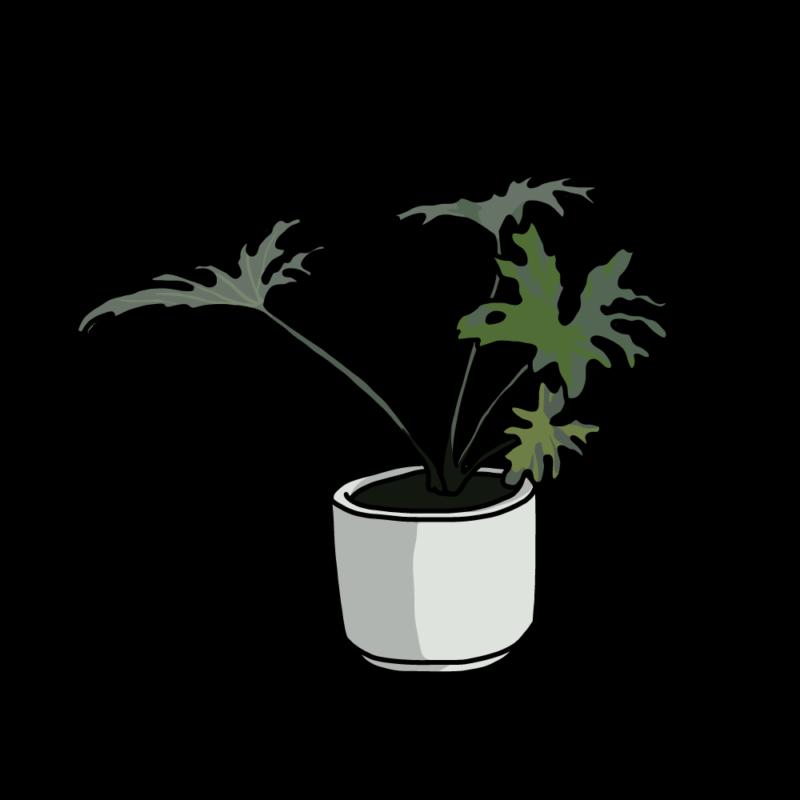 セローム(観葉植物)ホワイト