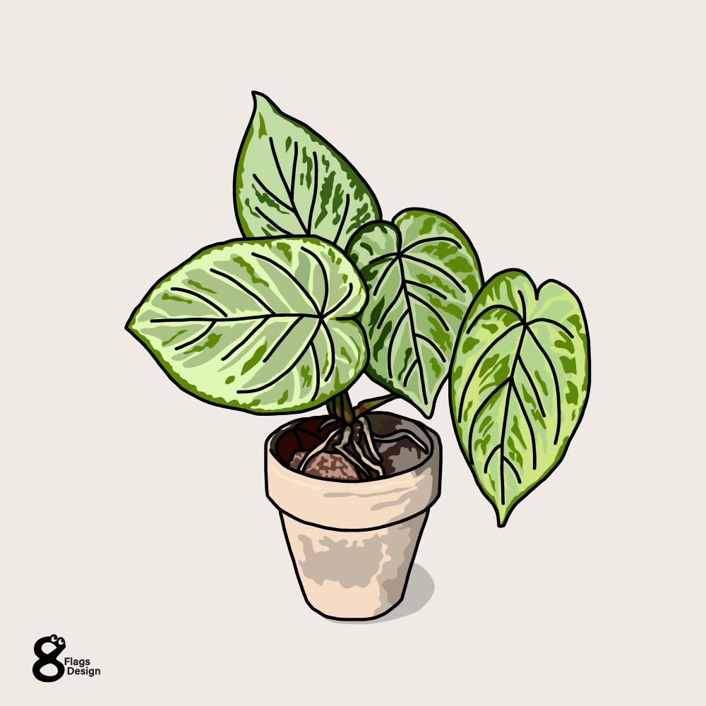 モンステラ・カルステニアナ(観葉植物)のキャッチ画像