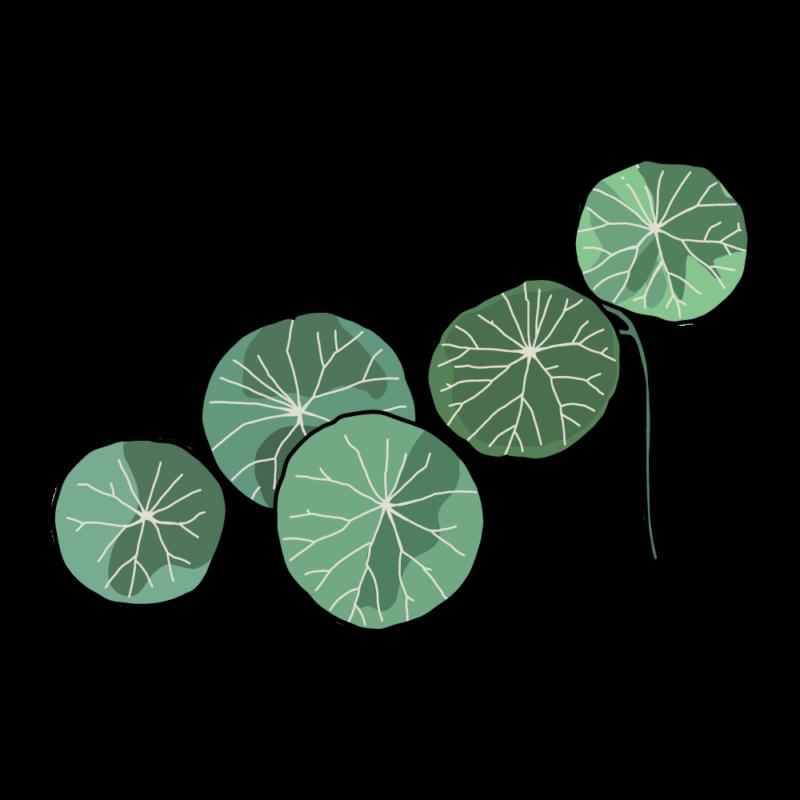 ピレア・ペペロミオイデス(観葉植物)ピンク