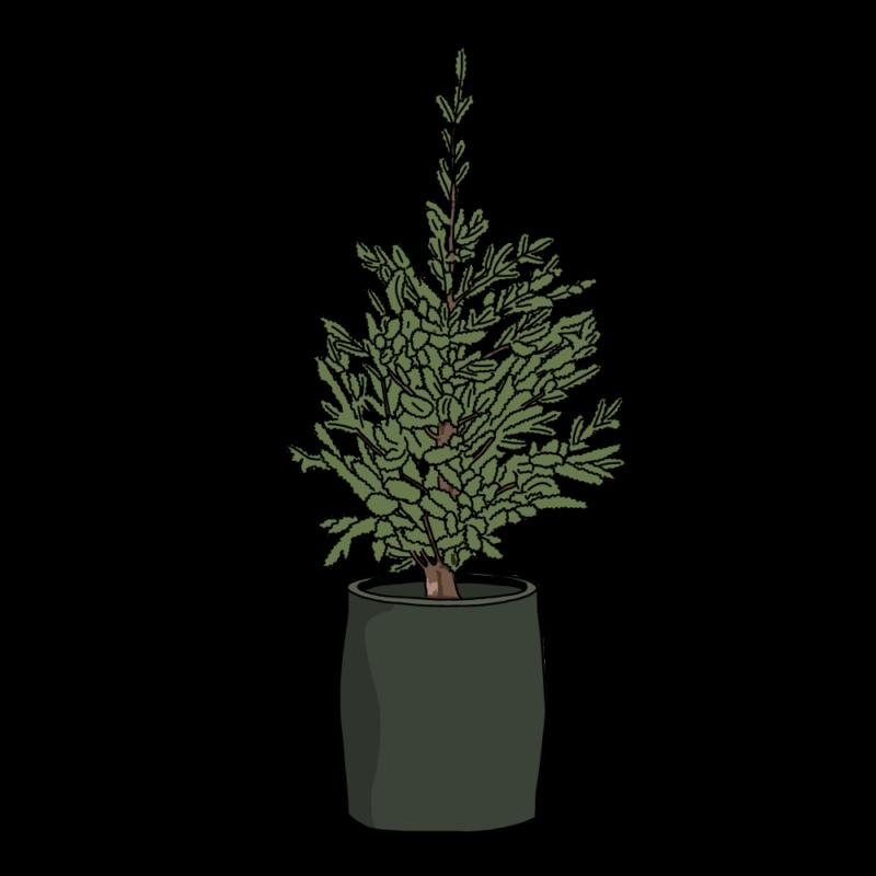 もみの木(生クリスマスツリー)黒