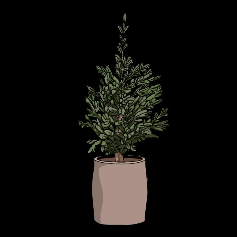 もみの木(生クリスマスツリー)ベージュ