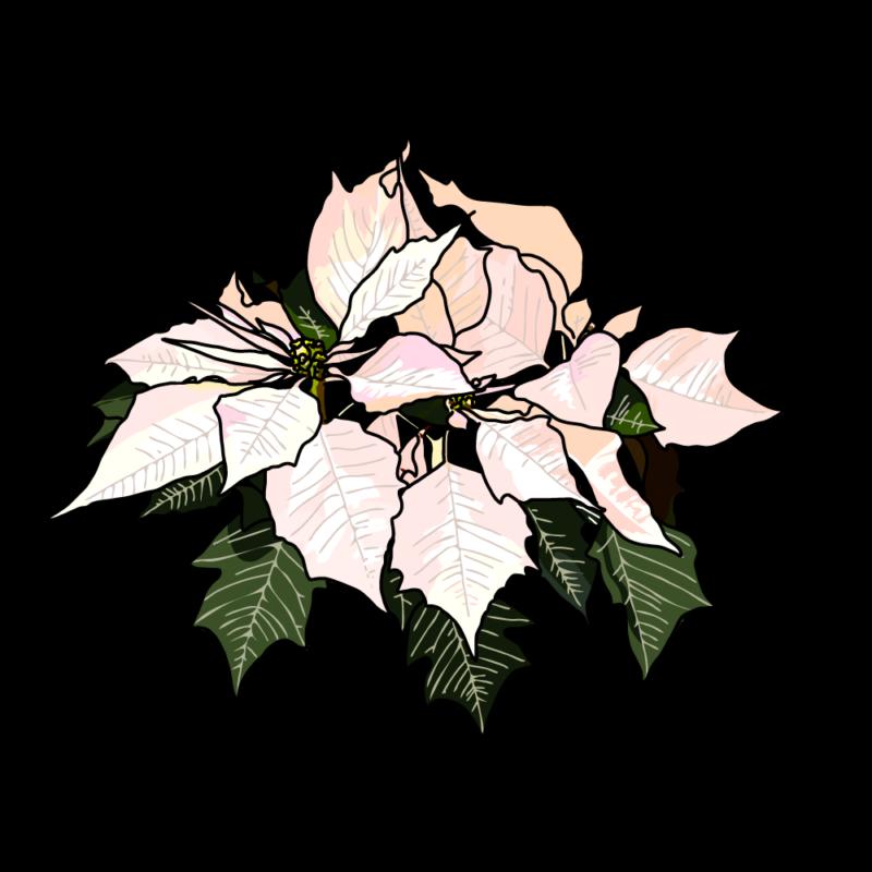 ポインセチア(一束)ホワイト