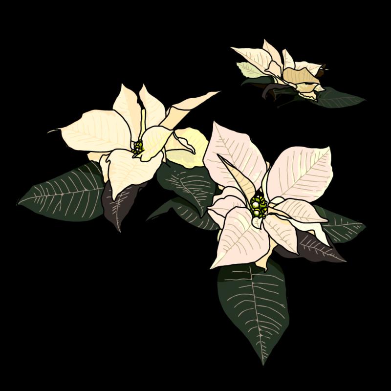 ポインセチア(バラ)ホワイト