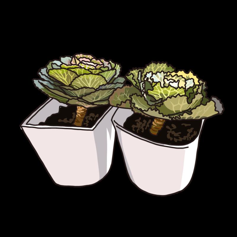 葉ボタンホワイト