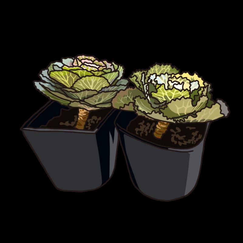 葉ボタンブラック