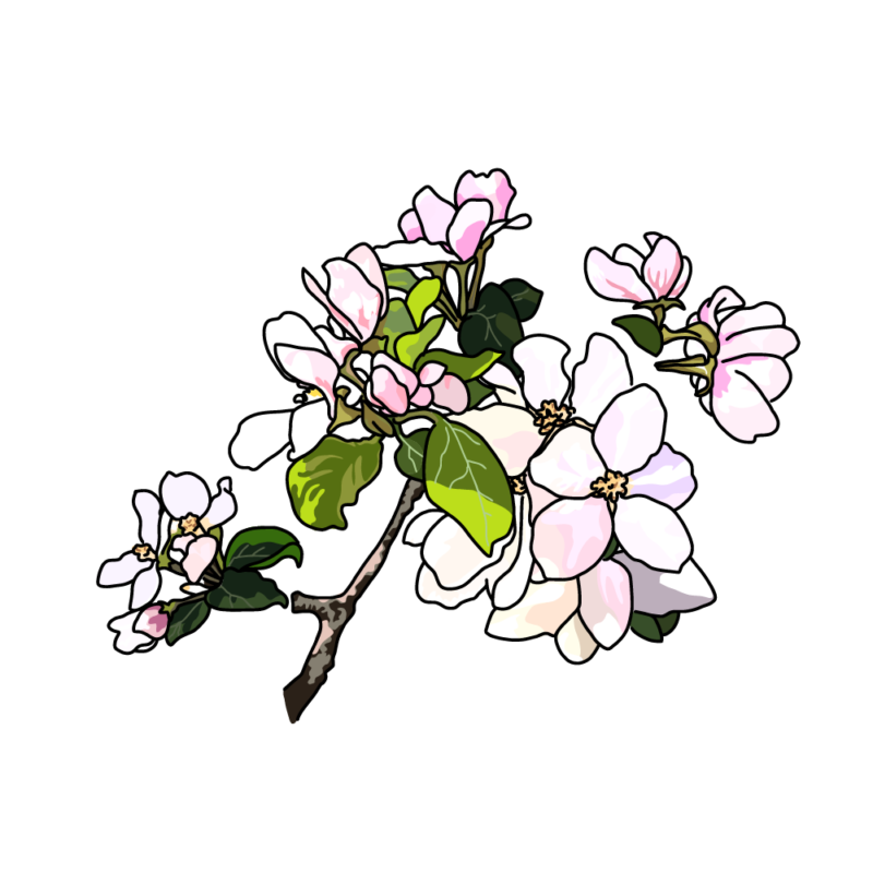 リンゴの花白