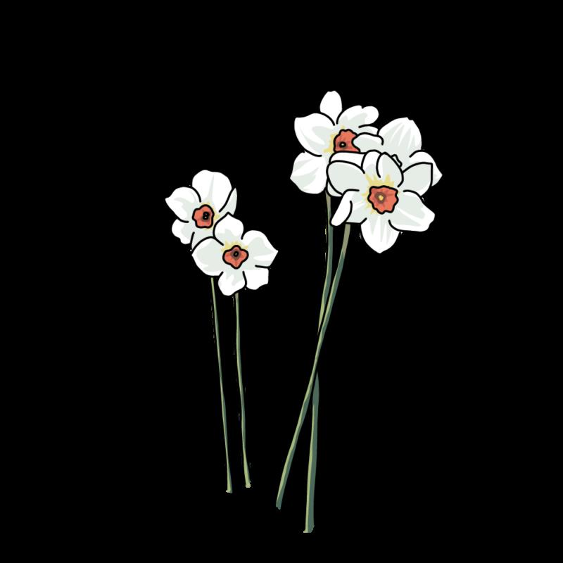 水仙のバラ白