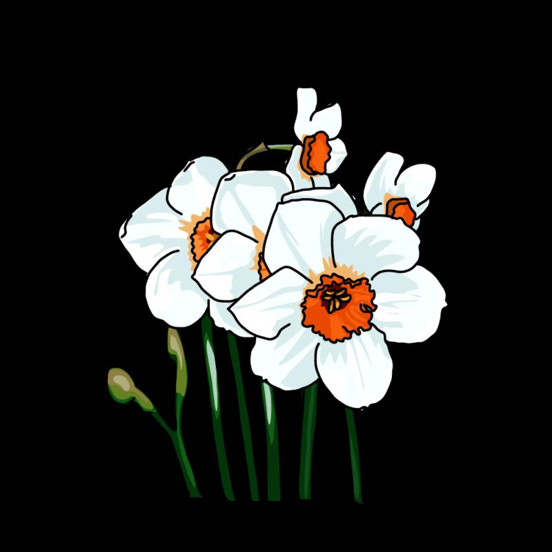 水仙(ナルキッソス)白