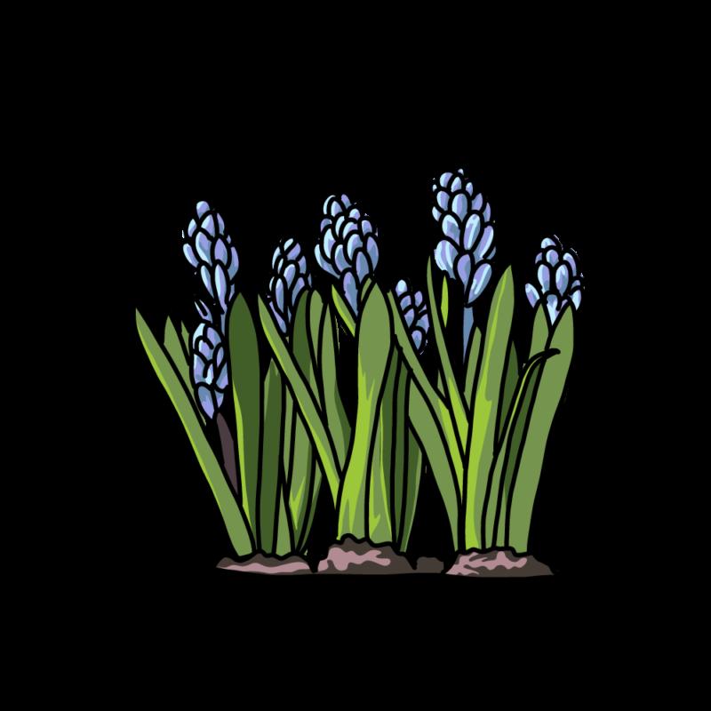 土植えヒヤシンスブルー