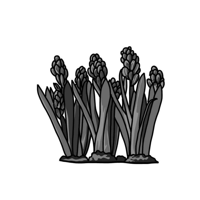 土植えヒヤシンスモノクロ