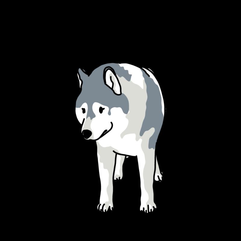 散歩なの?と聞いてくるオオカミ犬ハスキー