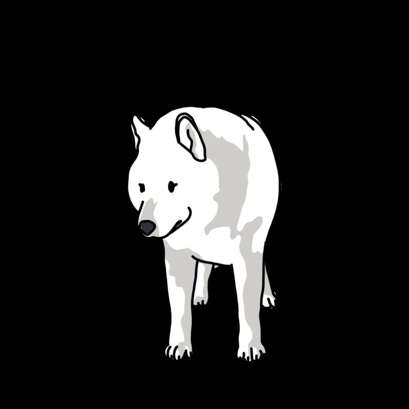 散歩なの?と聞いてくるオオカミ犬ホワイト