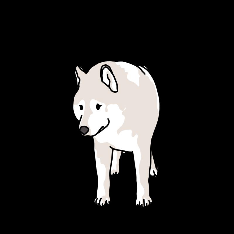 散歩なの?と聞いてくるオオカミ犬クリーム
