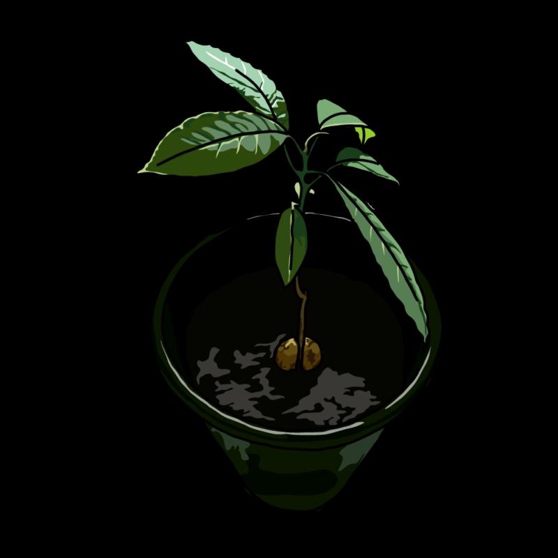 アボカドの木黒