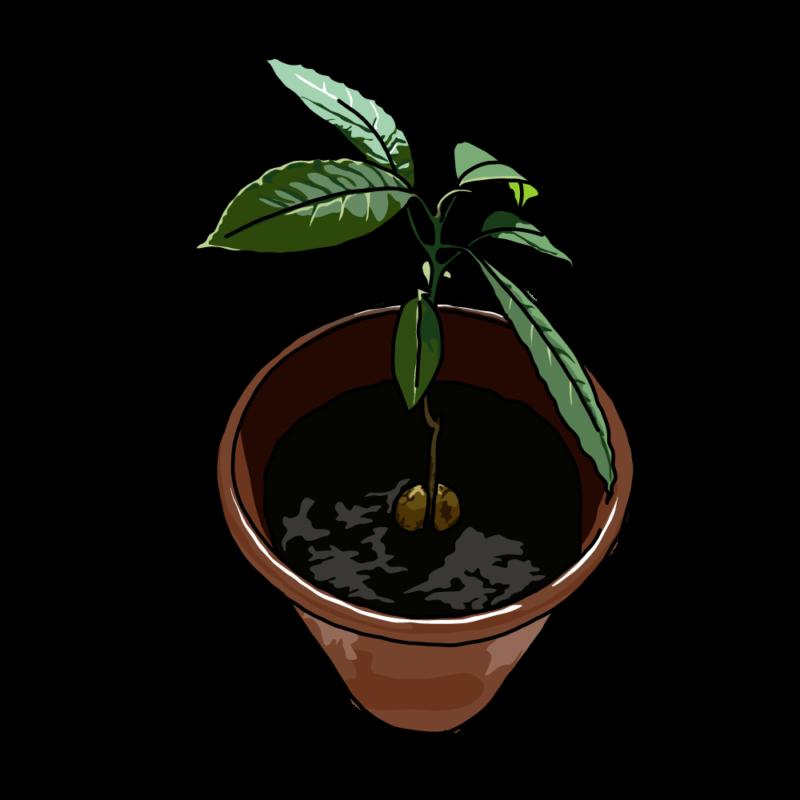 アボカドの木テラコッタ