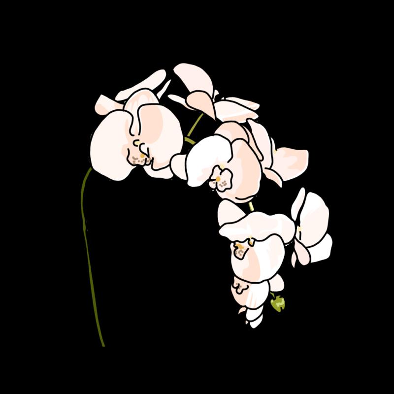 胡蝶蘭ピンク