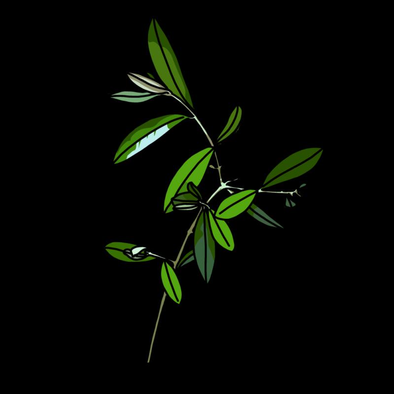 オリーブの枝繁りノーマル