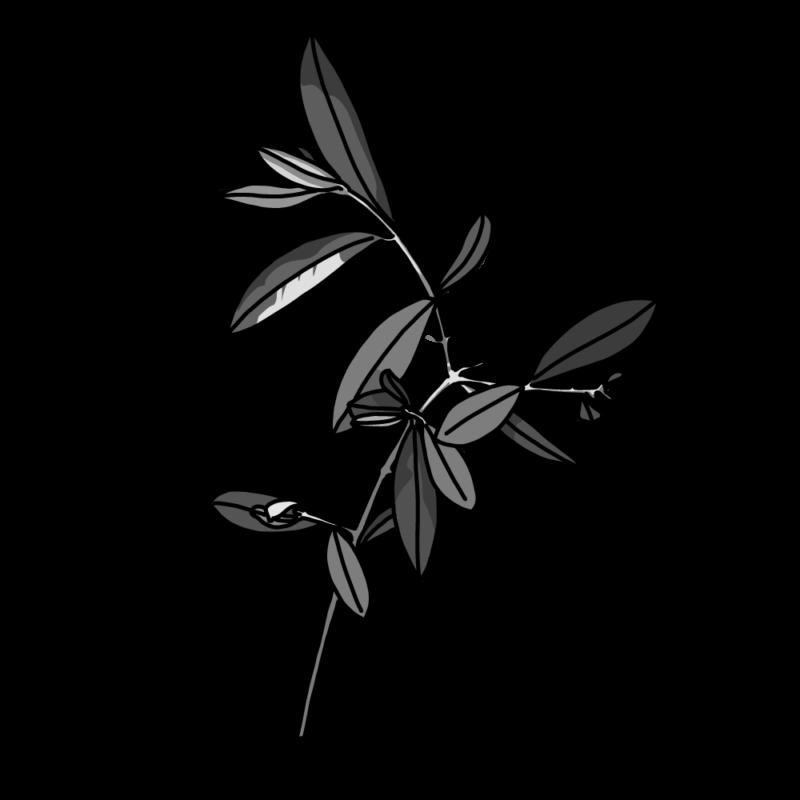 オリーブの枝繁りモノクロ