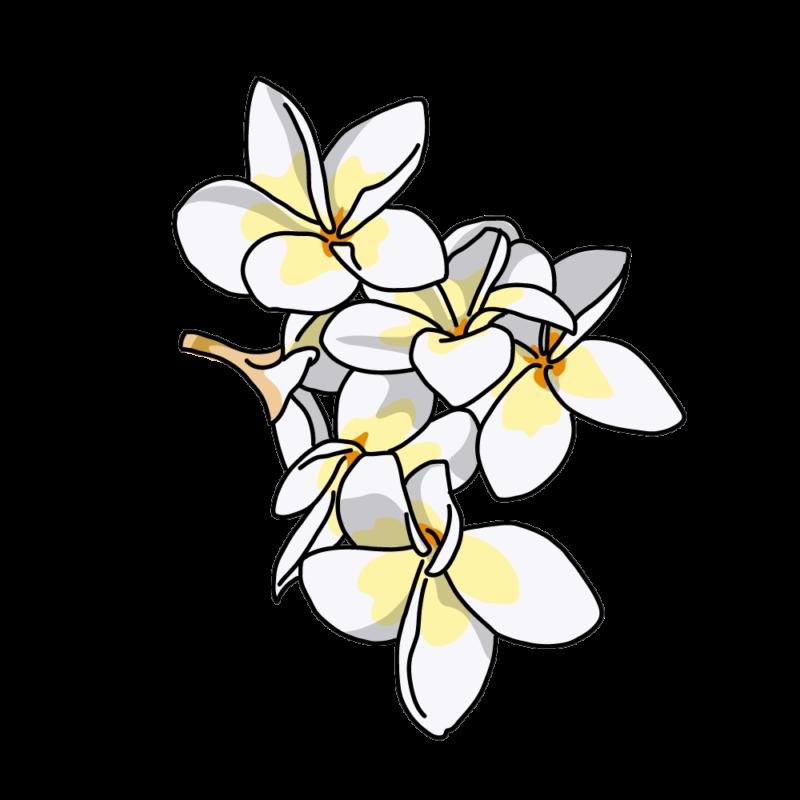 プルメリア02ホワイト