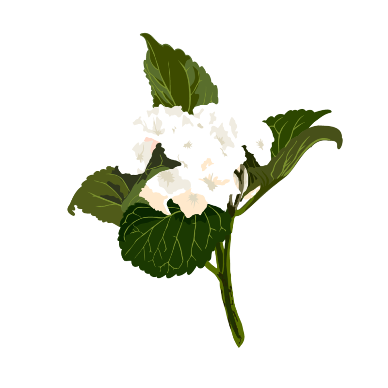 アジサイ02ホワイトノーライン