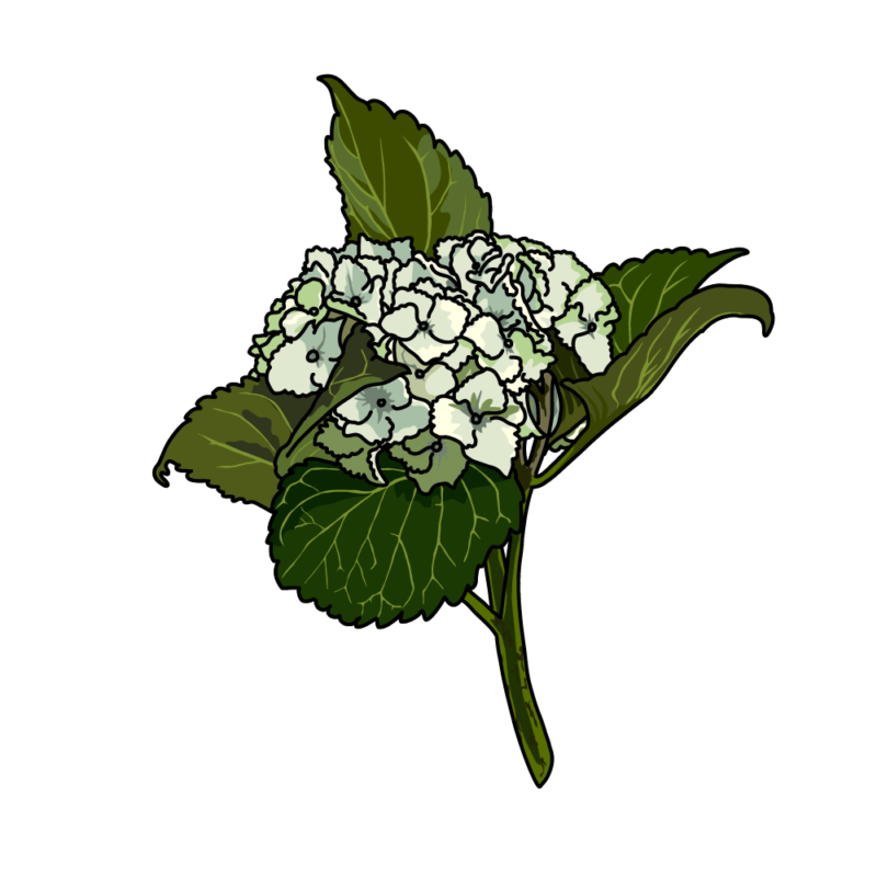 アジサイ02グリーン