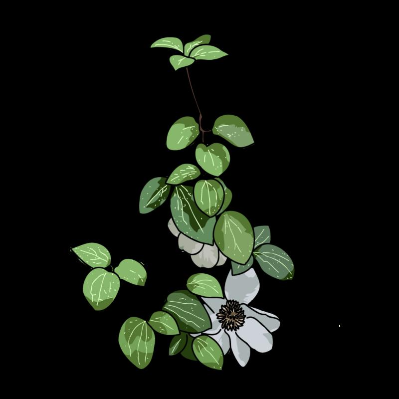 白いクレマチス0102