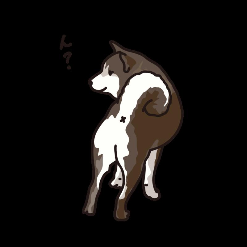 振り向く柴犬03