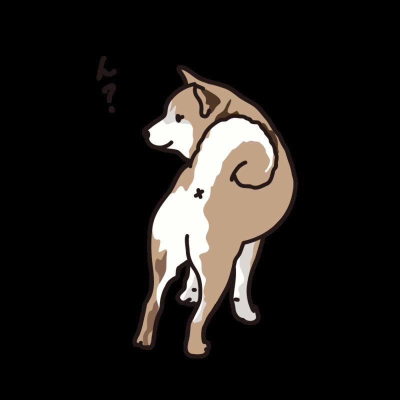 振り向く柴犬04